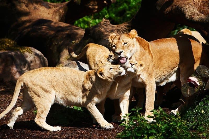 Billeder af dyr – Løve